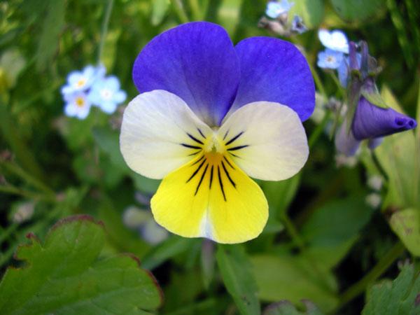 گل بنفشه سه رنگ