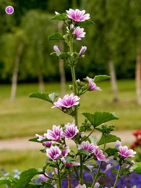 گل ختمی خبازی