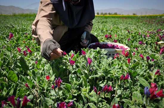 عکسی از برداشت گل گاو زبان ایرانی