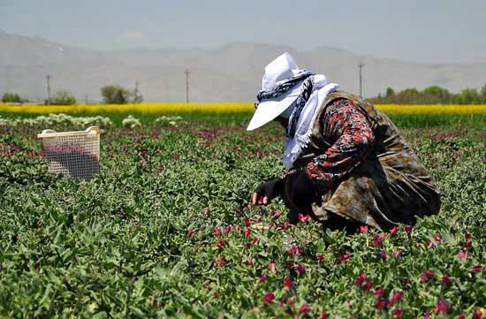 برداشت گل گاو زبان ایرانی
