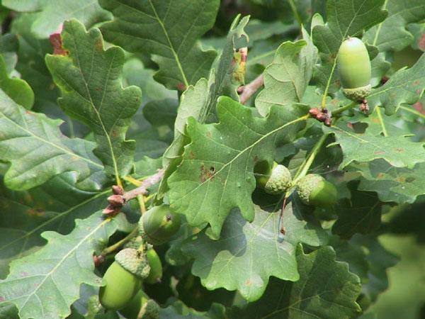 میوه درخت بلوط