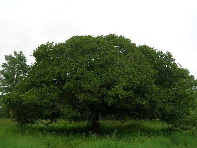 درخت قرص کمر
