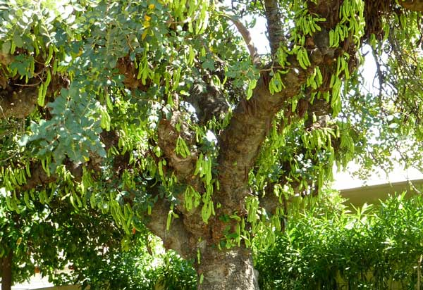 درخت خرنوب