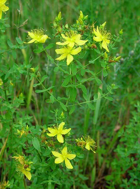 گل هوفاریون