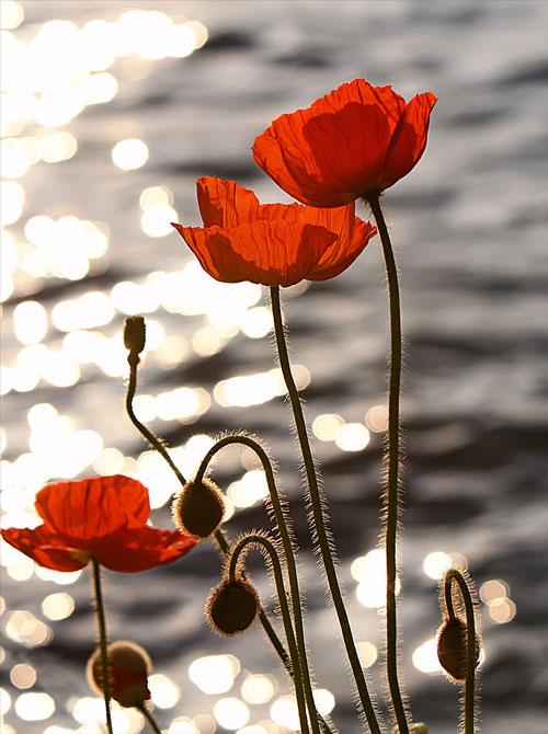 عکسی از گلهای شقایق در کنار رودخانه