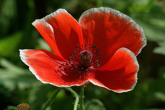 تصویری از گل شقایق وحشی با گلبرگهای باز
