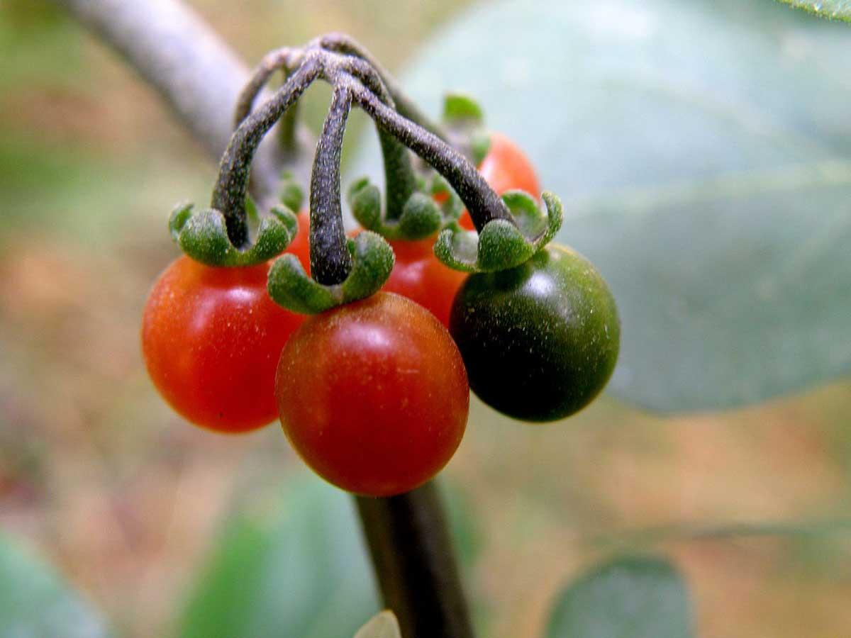 میوه رسیده و نارس تاجریزی روی ساقه
