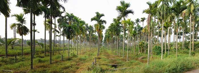 یک مزرعه فوفل کاتچو در هند