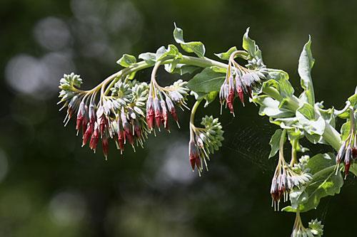 تصویری از گیاه آزارچوب
