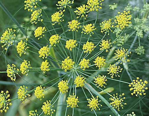 گلهای رازیانه
