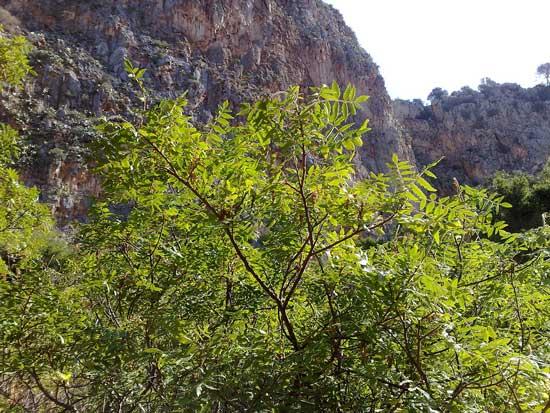 درخت سماق قرمز در یک پارک جنگلی در پالرمو
