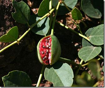 عکس درختچه گیاه کورک