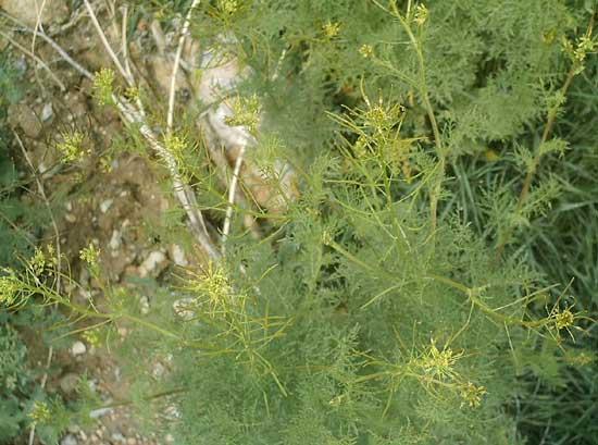 تصویری از گیاه خاک شیر در طبیعت