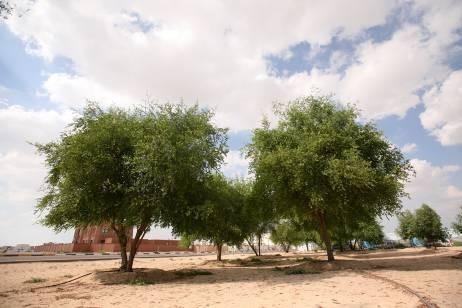 عکس درخت سدر