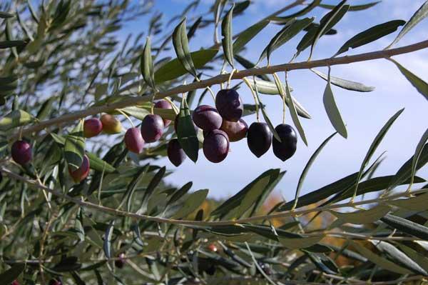 تصویری از درخت زیتون
