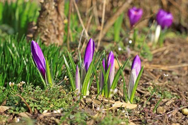 تصویری از گیاه زعفران که جوانه زده است