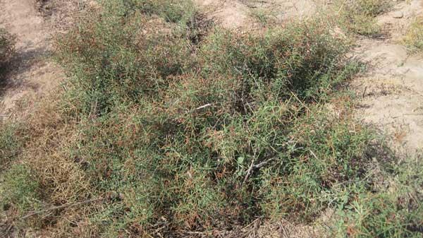 عکس گیاه خارشتر که از آن ترنجبین به دست میآید