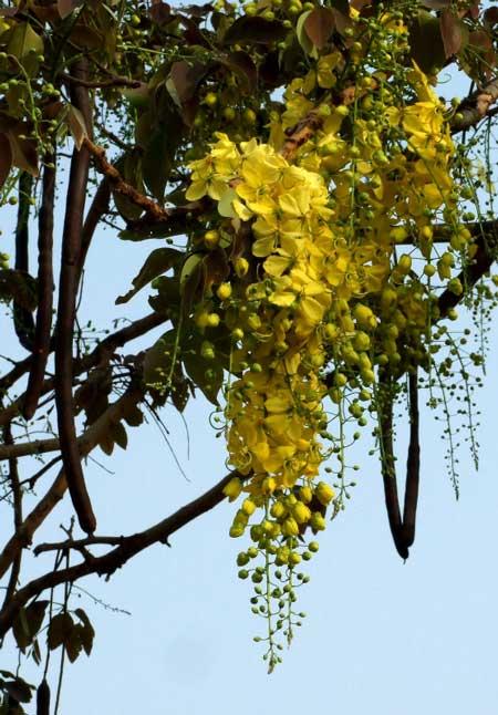 عکس درخت فلوس