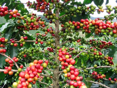 میوه درخت قهوه