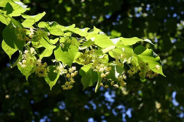 عکسی از گلهای گیاه زیرفون