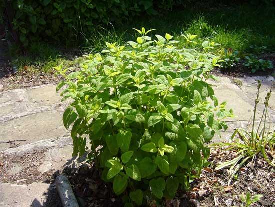 عکسی از گیاه فرنجمشک در حیاط خانه