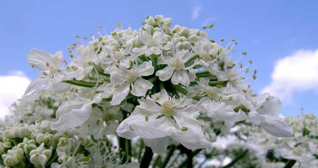 گیاه گلپر که در ادویه ترشی استفاده شده است
