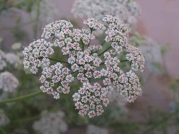 تصویری از گلهای سفید رنگ گیاه زنیان